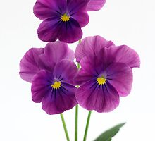 three violet pansies by OldaSimek