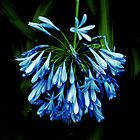 Agapanthus, North Sydney by vardoske