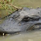 American Alligator by Dwayne Madden
