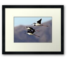 0130102 Black Necked Stilts Framed Print