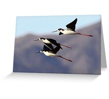 0130102 Black Necked Stilts Greeting Card
