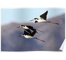 0130102 Black Necked Stilts Poster