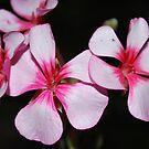 Pelargonium sp by Julie Sherlock