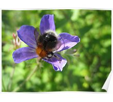 Bumble Bee And The Purple Flower Poster