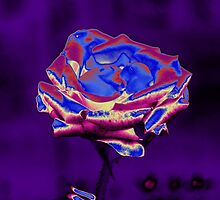 Blue and Purple Rose by Nhan Ngo