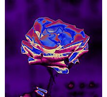 Blue and Purple Rose Photographic Print