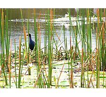 Waterfowl Carara Wetlands Photographic Print