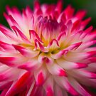 Dahlia by EUNAN SWEENEY