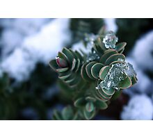 Icy shrubbery. Photographic Print