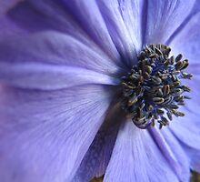 Blue Anenome by Pamela Jayne Smith