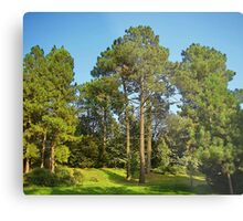 Morning in a pine forest Metal Print