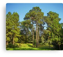Morning in a pine forest Canvas Print