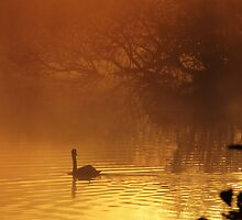 Swan in the early morning mist by Kim  Ayres