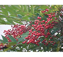 Berry Tree Photographic Print