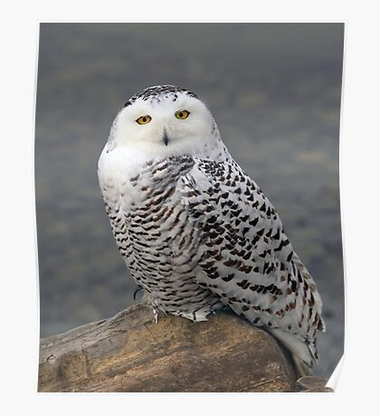 Owl on the Rocks - Snowy Owl Poster