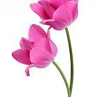 two pink tulips by OldaSimek