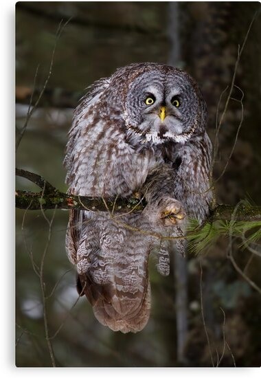 Silence! I keel you! - Great Grey owl by Jim Cumming
