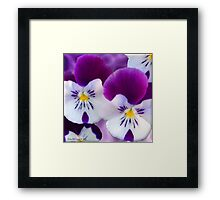 Purple Pansies Framed Print