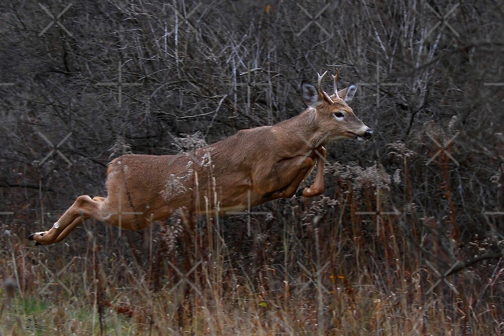 Into the Woods - White-tailed Deer by Jim Cumming