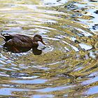 Duck ripples by triciamary