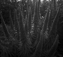 Flowering plant - pinhole image by Malcolm Garth
