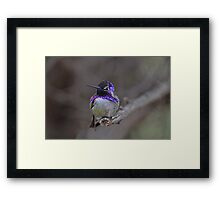 Male Costa  in his Glory  Framed Print