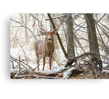 Edge of the Woods - White-tailed buck Metal Print
