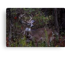 Young Prince - White-tailed Deer Canvas Print