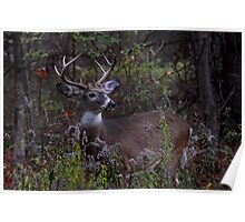 Young Prince - White-tailed Deer Poster