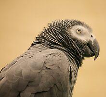 African Grey Parrot by Franco De Luca Calce