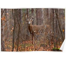 In the Stillness of the Woods - White-tailed Deer Poster