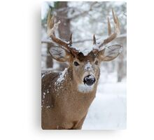 White-tailed buck in snow Metal Print