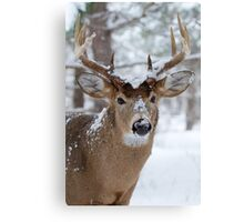 White-tailed buck in snow Canvas Print