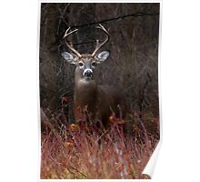 Young Buck - portrait - White-tailed Deer Poster