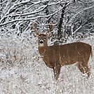 White-tailed deer buck in snow by Jim Cumming
