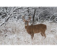 White-tailed deer buck in snow Photographic Print