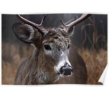 Light from Above - White-tailed deer Poster