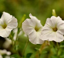 Summer heat and white petunias by Fiona Lokot