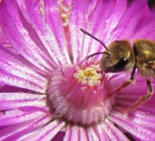 Ruschia macowanii pollinated by a Flower Bee Sticker