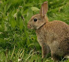Wild Baby Rabbit by Franco De Luca Calce