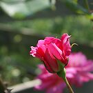 old fashioned double pink rose bud by BronReid