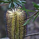 pretty 'black' Banksia flower, Blue Mountains, NSW by BronReid
