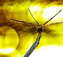 Dragonfly on a twig by JohnKarmouche