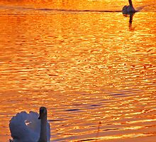 sunset swans  by eas25
