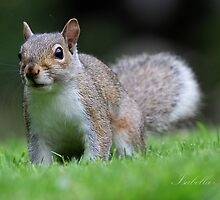 Squirrel  by Tricabella