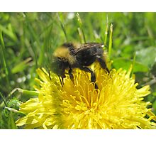 Bumble Bee And The Yellow Flower Photographic Print