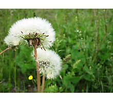 White Flower Seeds Photographic Print