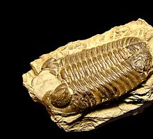 Trilobite Fossil by Heather Haderly