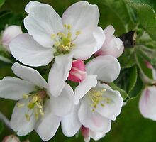 Blossoms of an Apple Tree by Nicole Meyer