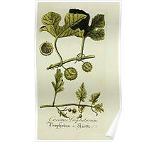 Plantarum Indigenarum et Exoticarum - Lukas Hochenleitter und Kompagnie 1788 - 325 Poster